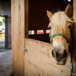 Arabber horse